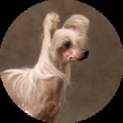 Китайская хохлатая голая-250x250