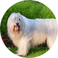 Южнорусская-овчарка-115x115