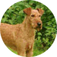 Irlandskij-terer-115x115